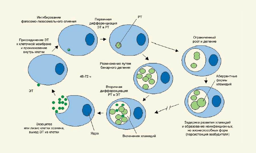 инкубационный период хламидиоза